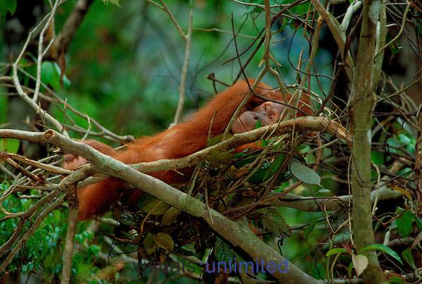 Orangutan resting in nest